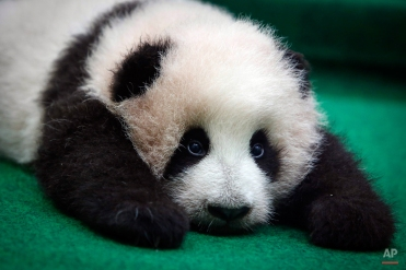 A 3-month old female giant panda cub is photographed at the Giant Panda Conservation Center at the National Zoo in Kuala Lumpur, Malaysia, Tuesday, Nov. 17, 2015. (AP Photo/Joshua Paul)