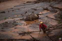 A rescue worker searches for victims next tot he carcass of a dead cow, at the site of the town of Bento Rodrigues, after two dams burst on Thursday, in Minas Gerais state, Brazil, Sunday, Nov. 8, 2015. Brazilian rescuers are looking for people still listed as missing following the burst of two dams at an iron ore mine which sent viscous red mud, water and debris flooding into the town, flattening all but a handful of buildings and killing dozens. (AP Photo/Felipe Dana)