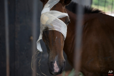 In this Nov. 24, 2015 photo, a wounded horse, rescued from an area devastated by a recent mudslide, stands in an improvised shelter in Mariana, Brazil. A flood of mud unleashed by the dam burst at the Samarco mine all but erased a nearby hamlet, injuring both man and beast. (AP Photo/Leo Correa)