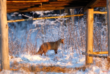 A fox walks in the forest near the village of Lovtsevichi, 50 km ( 31,2 miles) north-west of Minsk, Belarus, Monday, Jan. 4, 2016. The temperatures in Belarus reached around -15 Celsius ( 5 degrees Fahrenheit). (AP Photo/Sergei Grits)