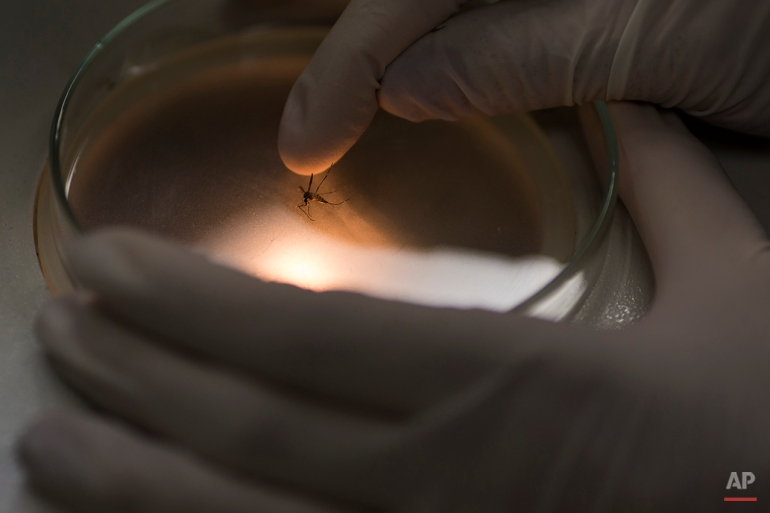 A researcher of the Fiocruz institute places an Aedes aegypti mosquito on a petri dish before analyzing it through the microscope at the Fiocruz institute in Recife, Pernambuco state, Brazil, Wednesday, Jan. 27, 2016. (AP Photo/Felipe Dana)