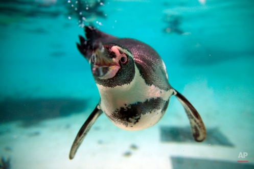 Humboldt Penguins swim in their pool during the annual stocktake press preview at London Zoo in Regents Park in London Monday, Jan. 4, 2016. A requirement of ZSL London Zooís license, the annual audit takes keepers a week to complete and all of the information is shared with zoos around the world via the International Species Information System, where itís used to manage the worldwide breeding programs for endangered animals. (AP Photo/Alastair Grant)