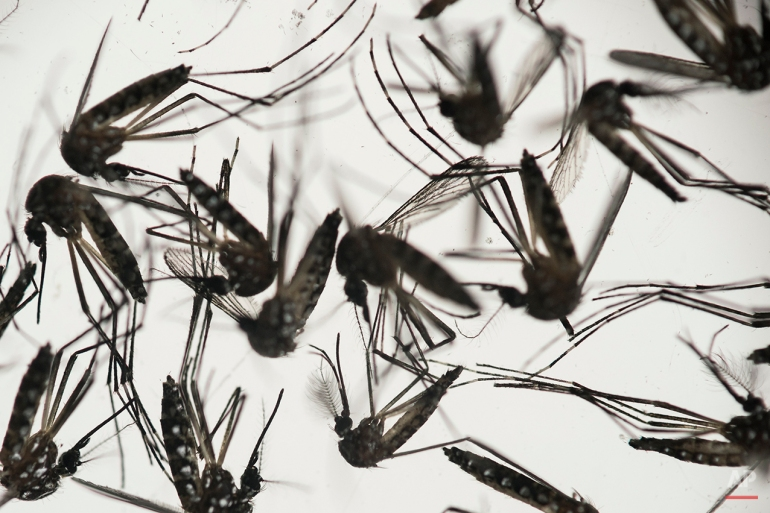 Aedes aegypti mosquitoes sit in a petri dish at the Fiocruz institute in Recife, Pernambuco state, Brazil, Wednesday, Jan. 27, 2016. The mosquito is a vector for the proliferation of the Zika virus currently spreading throughout Latin America. New figures from Brazil's Health Ministry show that the Zika virus outbreak has not caused as many confirmed cases of a rare brain defect as first feared. (AP Photo/Felipe Dana)