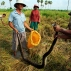 Cambodian farmers catch a python in a rice paddy as it was found while villagers were cutting rice on the outskirts of Phnom Penh, Cambodia, Friday, Dec. 11, 2015. (AP Photo/Heng Sinith)