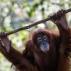 Tsunami, an eleven year old female Sumatran Orangutan, hangs on a rope in her enclosure during her birthday celebration at the National Zoo Ape Center in Kuala Lumpur, Malaysia, Thursday, Dec. 31, 2015. (AP Photo/Joshua Paul)