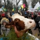 The head of a slaughtered cow is placed on top of a Christmas tree as Ukrainian farmers protest proposed changes in a tax law outside the Ukrainian parliament in Kiev, Ukraine, Thursday, Dec. 17, 2015. The Ukrainian parliament discussed the 2016 state budget on Thursday. (AP Photo/Sergei Chuzavkov)