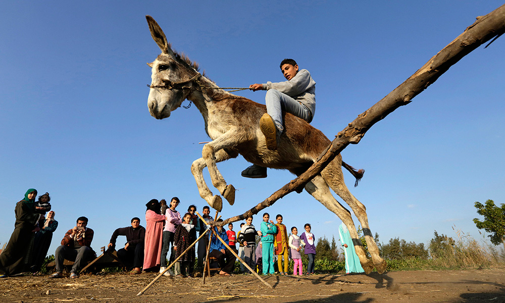 Egypt Jumping Donkey