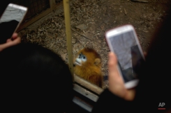 Visitors take smartphone photos as a snub-nosed monkey looks out of its enclosure at the Beijing Zoo in Beijing, Wednesday, Feb. 10, 2016. Millions of Chinese are celebrating the Lunar New Year, which marks the Year of the Monkey on the Chinese zodiac. (AP Photo/Mark Schiefelbein)