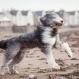 Zac, a Bearded Collie, runs on the beach, in Ardrossan, Scotland, Friday, Jan. 29, 2016, as a storm reaches the UK. Winds of more than 90mph have hit the west of Scotland as Storm Gertrude sweeps the country, causing power cuts and travel disruption. (Danny Lawson/PA via AP)