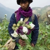 In this Feb. 3, 2016, photo, a member of Pat Jasan, a grassroots organization motivated by their faith to root out the destructive influence of drugs, holds poppies as his group slashes and uproots them from a hillside, in Lung Zar village, northern Kachin State, Myanmar. Opium is a scourge to many of Myanmar's poor communities ravaged by drug addiction. A movement in northern Kachin State has mobilized thousands to march through the countryside on a mission to destroy fields of poppy flowers from which opium and its derivative, heroin, are made. (AP Photo/Hkun Lat)