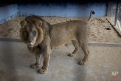 A lion, previously moved from Gaza, stands in a zoo in the Atil village near the West Bank city of Tulkarem, Monday, April 11, 2016. A lioness was evacuated from a makeshift zoo in Rafah, southern Gaza Strip, to join her mate who was moved earlier to a better zoo in the West Bank. Four adult lions and two cubs were evacuated from cash-strapped, conflict-ridden zoos in Gaza for treatment and better living conditions in the West Bank and Jordan. (AP Photo/Majdi Mohammed)