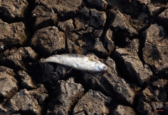 A dead fish lies on a dried up part of Osman Sagar lake on the outskirts of Hyderabad, India, Thursday, April 21, 2016. Severe drought like conditions are affecting millions of people spread over 12 states across the country. (AP Photo/Mahesh Kumar A.)