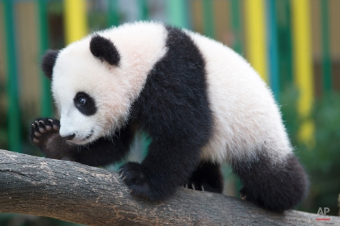 """Seven-month old female giant panda cub Nuan Nuan plays inside the panda enclosure at the National Zoo in Kuala Lumpur, Malaysia, Thursday, April 7, 2016. The cub, the offspring of Xing Xing and Liang Liang, two giant pandas on loan to Malaysia from China in 2014, has been named """"Nuan Nuan."""" (AP Photo/Vincent Thian)"""