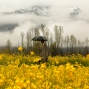 In this March 17, 2016 photo, a Kashmiri man walks through a mustard field during a rainy day on the outskirts of Srinagar, Indian controlled Kashmir. Srinagar is coming out of its cool winter months as flowers begin to bloom in the lead up to April. (AP Photo/Mukhtar Khan)