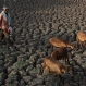 An Indian shepherd walks with his sheep on the dried Osman Sagar Lake on the outskirts of Hyderabad, India, Monday, March 21, 2016. World Water Day is marked on Tuesday, March 22. (AP Photo/Mahesh Kumar A.)