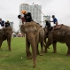 Polo players, sitting behind mahouts as they guide elephants, contest for the ball during an elephant polo match in Bangkok, Thailand, Thursday, March 10, 2016. The annual King's Cup Elephant Polo charity event raises funds for projects that better the lives of Thailandís wild and domesticated elephant population and is being held on the banks of Bangkokís Chao Phraya River until March 13. (AP Photo/Mark Baker)