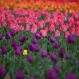 Tulips are seen in full bloom at a garden in the outskirts of Srinagar, Indian controlled Kashmir, Thursday, March 31, 2016. Kashmir, known for its mountains, lakes, forests and moderate weather, was one of Asia's most popular tourist destinations until a Muslim separatist movement broke out in the region since1989 claiming thousands of lives. With the situation improving, many tourists have started returning to Kashmir. (AP Photo/Dar Yasin)