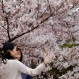 Women take a selfie with blooming cherry blossoms at Shinjuku Gyoen National Garden in Tokyo, Wednesday, March 30, 2016. Visitors enjoy a total of 1,100 cherry trees of 65 different types that start to bloom from February until the end of April at the park. (AP Photo/Shizuo Kambayashi)