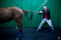 """In this Wednesday, Dec. 2, 2015 photo, Dr. Gal Kelmer, head of the department of large animals, unties a horse after its operation at the University's Koret School of Veterinary Medicine in Rishon Lezion, Israel. """"Horses have an instinctive response of flight from danger,"""" Kelmer said. """"The minute they wake up they start trying to stand and run, even if they don't have control of their limbs. So then they fall."""" (AP Photo/Oded Balilty)"""