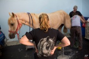 In this Saturday, Nov. 28, 2015 photo, veterinarians examine a horse after his surgery at the Hebrew University's Koret School of Veterinary Medicine in Rishon Lezion, Israel. Veterinarians at the hospital operate on about two dozen horses a month and rely on elaborate tools and an army of volunteers to safely treat animals that can weigh more than 1,000 pounds (450 kilograms). (AP Photo/Oded Balilty)