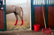 In this Sunday, Dec. 6, 2015 photo, a horse stands in a stall after leg surgery at the Hebrew University's Koret School of Veterinary Medicine in Rishon Lezion, Israel. Veterinarians at the hospital operate on about two dozen horses a month and rely on elaborate tools and an army of volunteers to safely treat animals that can weigh more than 1,000 pounds (450 kilograms). (AP Photo/Oded Balilty)