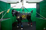 In this Saturday, Nov. 28, 2015 photo, a horse is supported in a recovery room after a surgery at the Hebrew University's Koret School of Veterinary Medicine in Rishon Lezion, Israel. To restrain a flighty horse, Dr. Gal Kelmer, who heads the large animal department, straps the animal into a sling that suspends it from the belly and lifts it into the air, keeping the mouth closed and tail tied as the horse gradually regains control of its body.(AP Photo/Oded Balilty)
