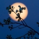 The rising full moon silhouettes the budding Cherry tree blossoms along the Tidal Basin in Washington, Tuesday evening, March, 22, 2016. The peak period for viewing the blooming trees is expected in a couple of days according to the National Park Service. (AP Photo/J. David Ake)