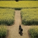 """A woman pushes a baby cart through a rapeseed oil field at Tenkaiho Park in Sasebo, Nagasaki Prefecture, southwestern Japan, Tuesday, April 5, 2016. From the park, visitors can also enjoy the scenic view of Kujuku-shima Islands, which means in Japanese """"ninety-nine islands,"""" one of the most visited tourist spots in Nagasaki Prefecture. (AP Photo/Eugene Hoshiko)"""