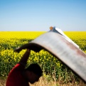 Fields of canola bloom extend into the horizon as Bob Calvey looks under the hood of a 1949 Pontiac which sits at his salvage yard, Tuesday, April 12, 2016, in Oak Grove, Ky. (AP Photo/David Goldman)