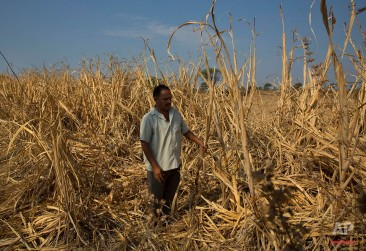 In this May 11, 2016, photo, Indian farmer Anant More inspects his destroyed crop of sugarcane due to drought in Marathwada region, in the Indian state of Maharashtra. Failed monsoons play havoc with millions of farmers in central India leading to crippling poverty and soaring suicides. Some 400 farmers have killed themselves so far this year in the parched Marathwada region, which is home to about 19 million people. (AP Photo/Manish Swarup)