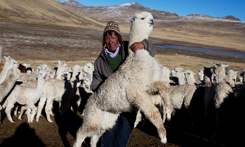In this July 11, 2016 photo, Agustin Mayta Condori shows his sick alpaca that he predicted would die the next day due to sub-freezing temperatures in San Antonio de Putina in the Puno region of Peru. The indigenous families that make a living from shearing the fiber earn as little as $1,200 a year. There have been several attempts to give alpaca herders a bigger share of the $150-million industry. (AP Photo/Rodrigo Abd)
