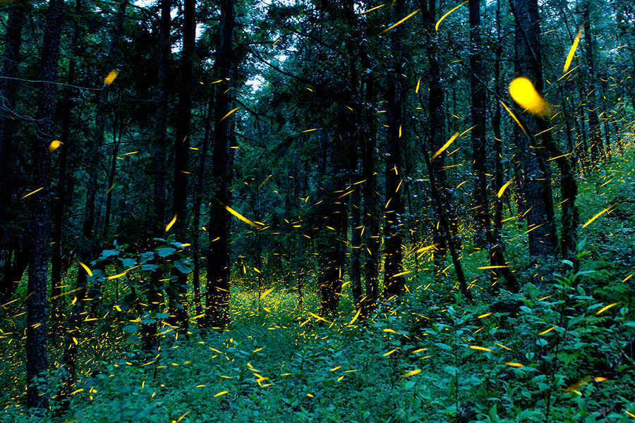 Mexico's Firefly Sanctuary