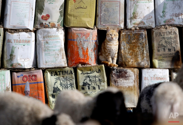 A cat looks at a herd of goats at a compound for the displaced in western Baghdad, Iraq, Tuesday, Jan. 4, 2011.  (AP Photo/Hadi Mizban)