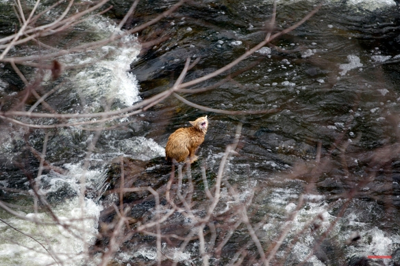 A cat is stranded on a rock surrounded by rapids at the base of Akron Falls in Akron Falls Park in Akron, N.Y., Monday, April 4, 2011. (AP Photo/David Duprey)