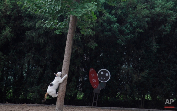 A cat attempts to climb a tree at a park in Beijing, Wednesday, June 15, 2011. (AP Photo/Ng Han Guan)
