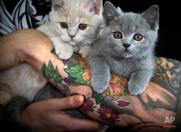 Kittens are held by their owner waiting for the evaluation of a judge at an international cat beauty show in Bucharest, Romania, Saturday, Oct. 1, 2011. Up to 300 cats mainly from countries in central and eastern Europe entered the two day competition. (AP Photo/Vadim Ghirda)