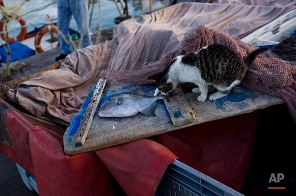 In this Saturday, Jan. 7, 2012 photo, a cat investigates a fish in the port of the southern Spanish city of Barbate, Spain.  (AP Photo/Emilio Morenatti)