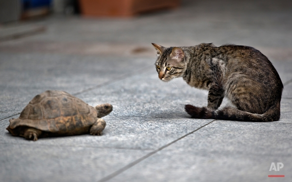 Selma, the turtle grabs the attention of a stray cat, while on her daily walk out, near Taksim square, in Istanbul, Wednesday, June 12, 2013. (AP Photo/Vadim Ghirda)
