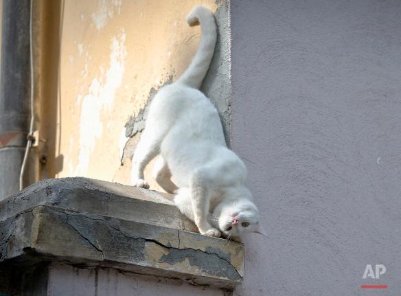 A cat rubs his head against a wall,  in Bucharest, Romania, Friday, May 17, 2013. (AP Photo/Vadim Ghirda)