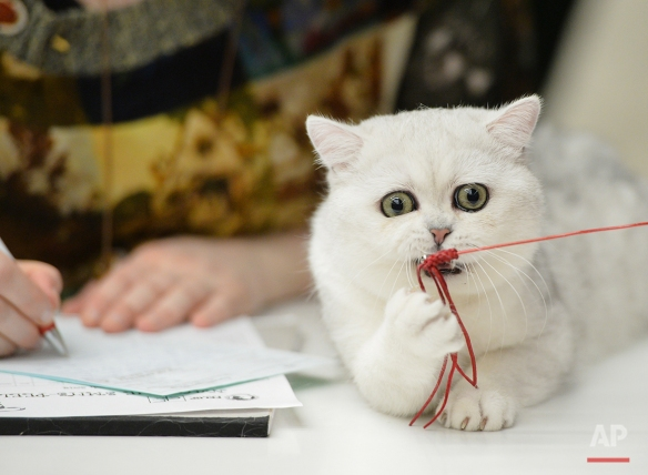 A British Shorthair kitten plays with a toy while being evaluated at an international feline beauty show in Bucharest, Romania, Saturday, March 8, 2014. (AP Photo/Andreea Alexandru/Mediafax)