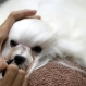 Mint, a five-year-old Maltese dog from Thailand, is groomed during Thailand International Dog Show in Bangkok, Thailand on Thursday, June 30, 2016. The dog show is held from June 30 until July 3. (AP Photo/Sakchai Lalit)